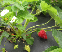 Collard Patch - strawberry plant